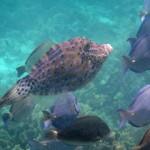 Fotografía de un Chapín dentro de un banco de peces