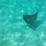 Fotografía de una manta nadando en aguas cristalinas