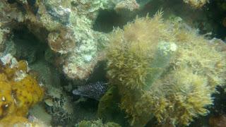Fotografía de una morena escondida entre el coral