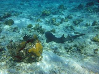 Fotografía de tiburón nodriza descansando en el fondo