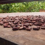 Foto de las semillas de cacao secándose al aire libre